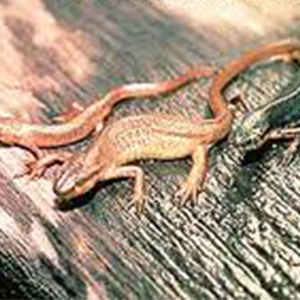 Central Newt