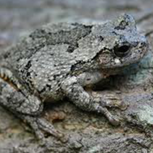 Gray tree frog - photo#18