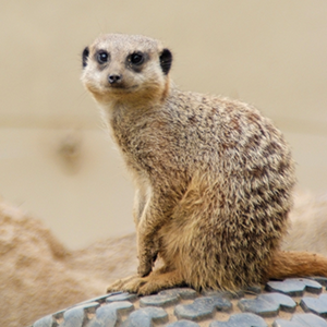 Image result for slender tailed meerkat zoo