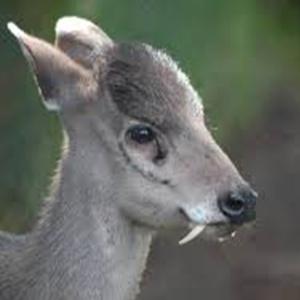 Western Tufted Deer Fact Sheet Racinezoo Org