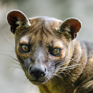 fossa fact sheet