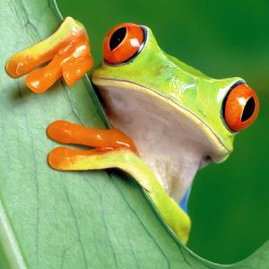 red eyed tree frog fact sheet